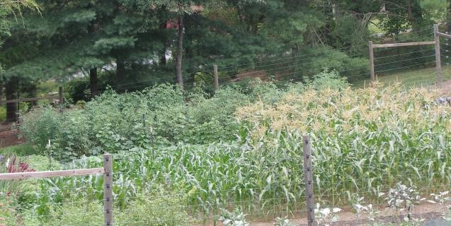 The Vegetable Garden in August