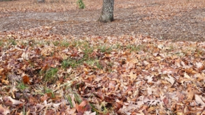 Leaves-on-winter-lawn-sm