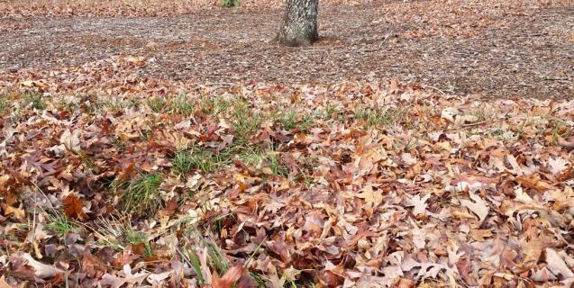 winter lawn care piedmont master gardeners