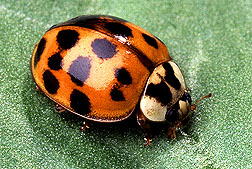 Lady Beetle Photo Credit: Scott Brown, USDA, ARS, AFRS