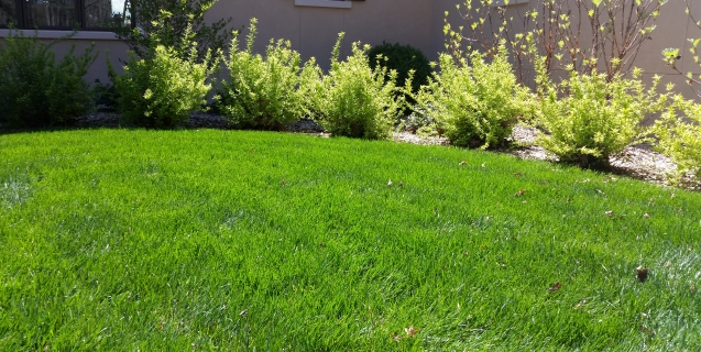 What causes grass to be thick and lush?