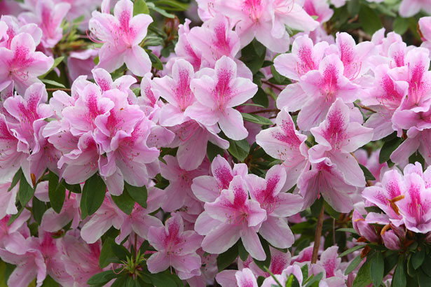 What S So Special About Azaleas And Rhododendrons Piedmont