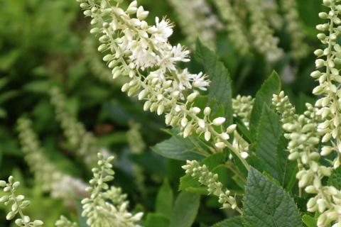 Clethra Alnifolia uk Clethra Alnifolia