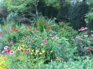 This local garden features purple coneflower (Echinacea purpurea), an easy native, and a shrub background.  Photo: Gail South