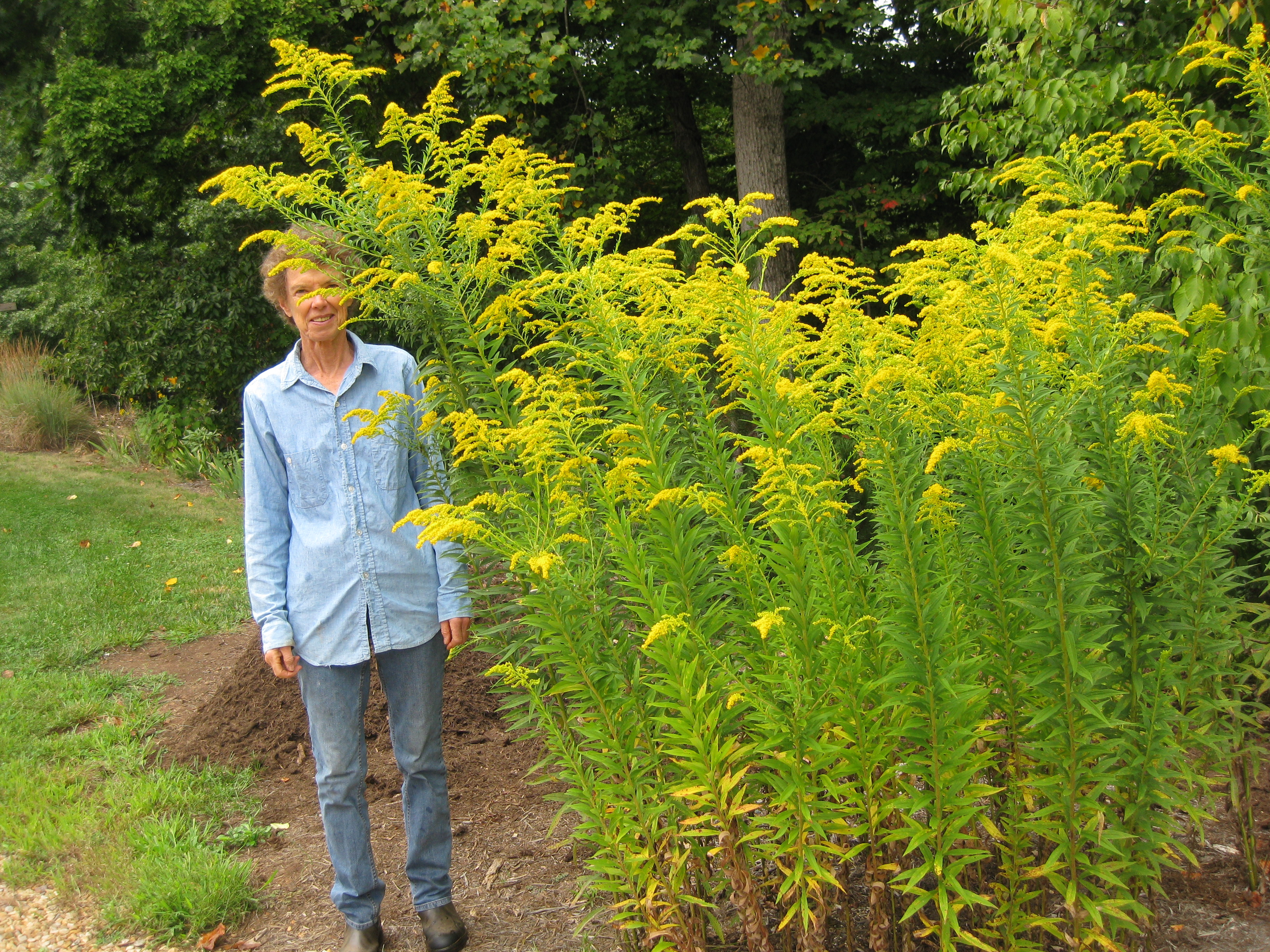 Pat Day >> Goldenrod | Piedmont Master Gardeners