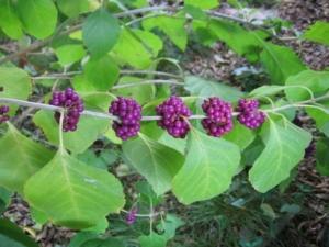 Callicarpa Americana (Native Beautyberry)