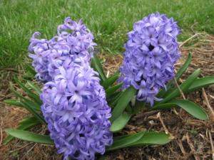 Hyacinth-SkyJacket