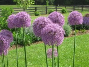 Allium 'Giganteum'
