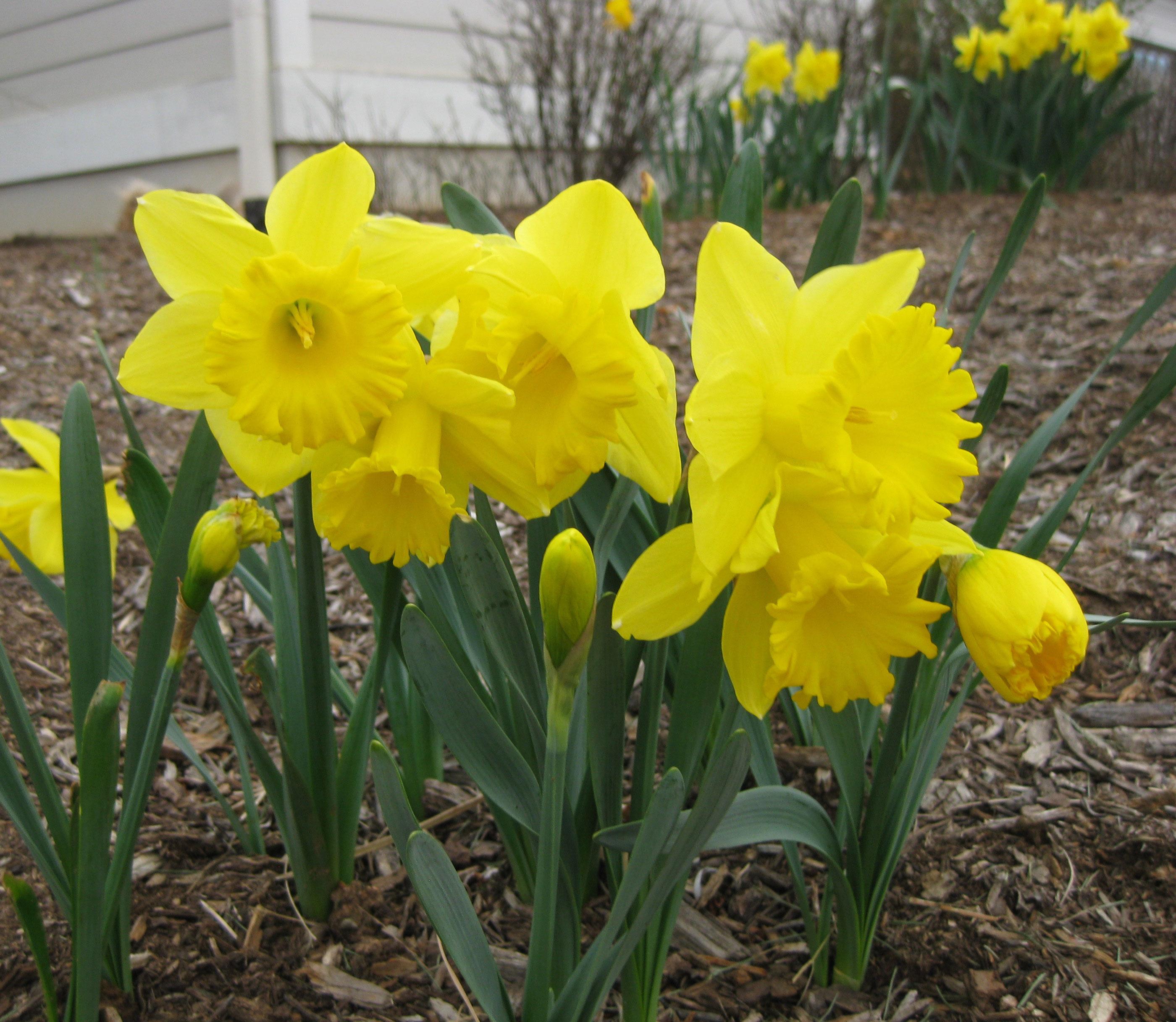 When how to plant daffodil bulbs - Daffodil Dutch Master