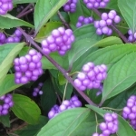 Non-native Beautyberry Fruit Clusters