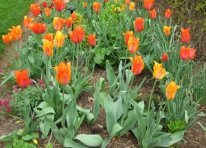 Tulips in Mixed Border