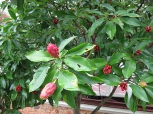 Sweetbay Magnolia Seedpods
