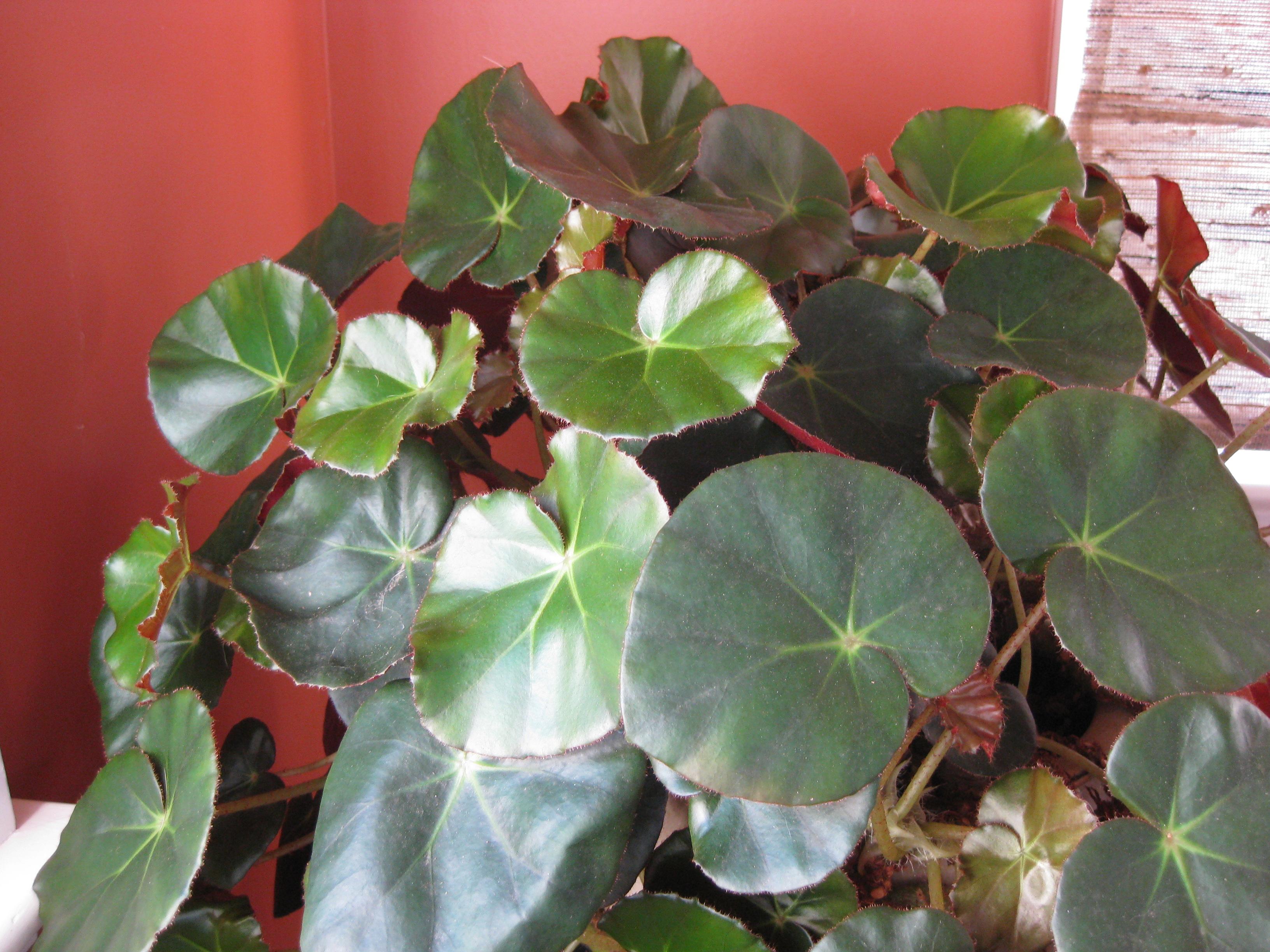 Interesting Leaves Beefsteak Begonia