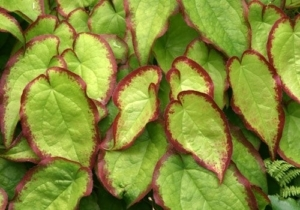 Epimedium x sempervirens 'Cherry Hearts'