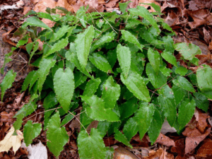 Epimedium x stellulatum 'Long Leaf Form'