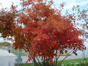 Amelanchier Canadensis (Serviceberry) Fall Foliage