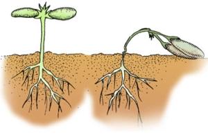 Damping-Off Source USDA