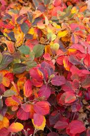 F. gardenii fall color