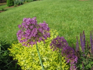 Allium aflatunense-Purple Sensation