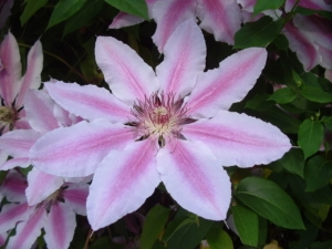 Clematis 'Nelly Moser' from Wikimedia Commons