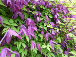 Clematis alpina 'Tage Lundell' Photo from wikimedia commons