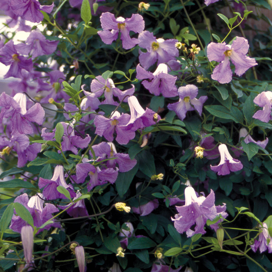 clematis hybrid betty corning piedmont master gardeners. Black Bedroom Furniture Sets. Home Design Ideas