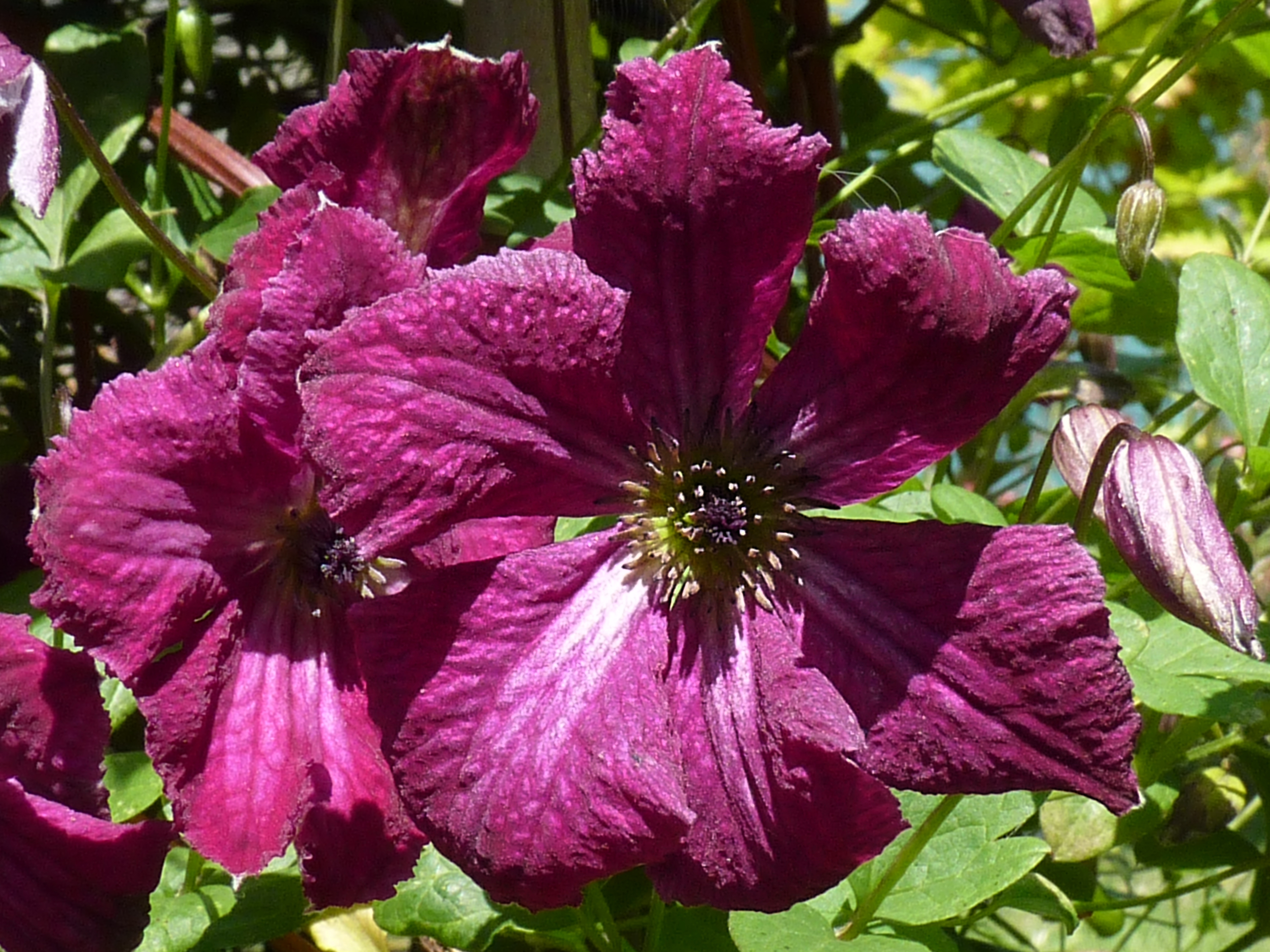 clematis viticella rubra photo from wikimedia commons