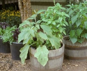 Container Grown Eggplant Photo Source: University of Maryland Extension