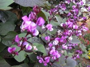 Purple Hyacinth Bean