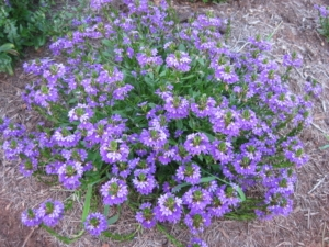 Scaevola (Fan Flower) Used As a Ground Cover