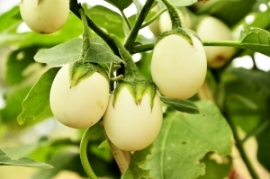 Every wonder how eggplant got its name?