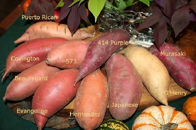 Examples of Sweet Potatoe Varieties Photo Source: North Carolina Sweet Potato Commission