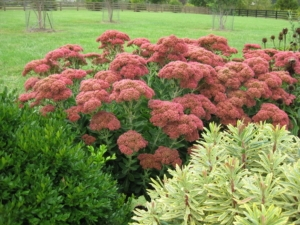 Sedum 'Autumn Joy' flanked by Buxus 'Green Velvet' and Euphorbia 'Ascot Rainbow'