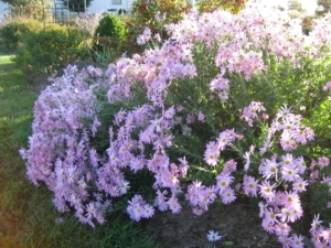 Chrysanthemum 'Cambodian Queen' Backlit by late October Sunlight