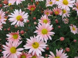 Hardy Chrysanthemum 'Sheffield Pink'