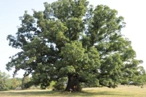 Earlysville White Oak Tree