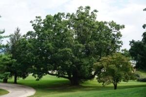 Ancient White Oak Tree at Emmanuel Episcopal Church in Greenwood, Virginia