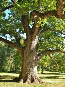 Stately White Oak Tree