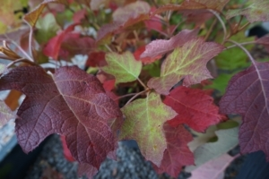 Burgundy and Purple Autumn Foliage of Oakleaf Hydrangea
