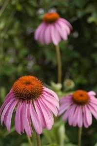 Echinacea purpurea Photo: Jacob Rus