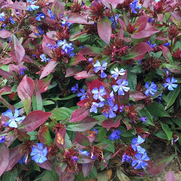 plumbago  a true blue accent in the sunny border  piedmont, Natural flower
