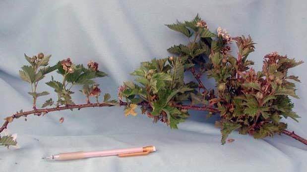 Wild Blackberry Leaves Blackberries Part 2-Di...