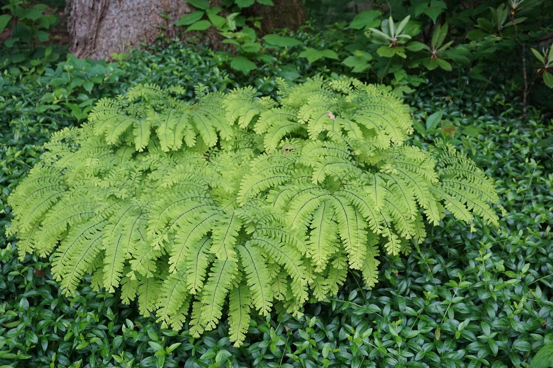 Well Established Maidenhair Ferns