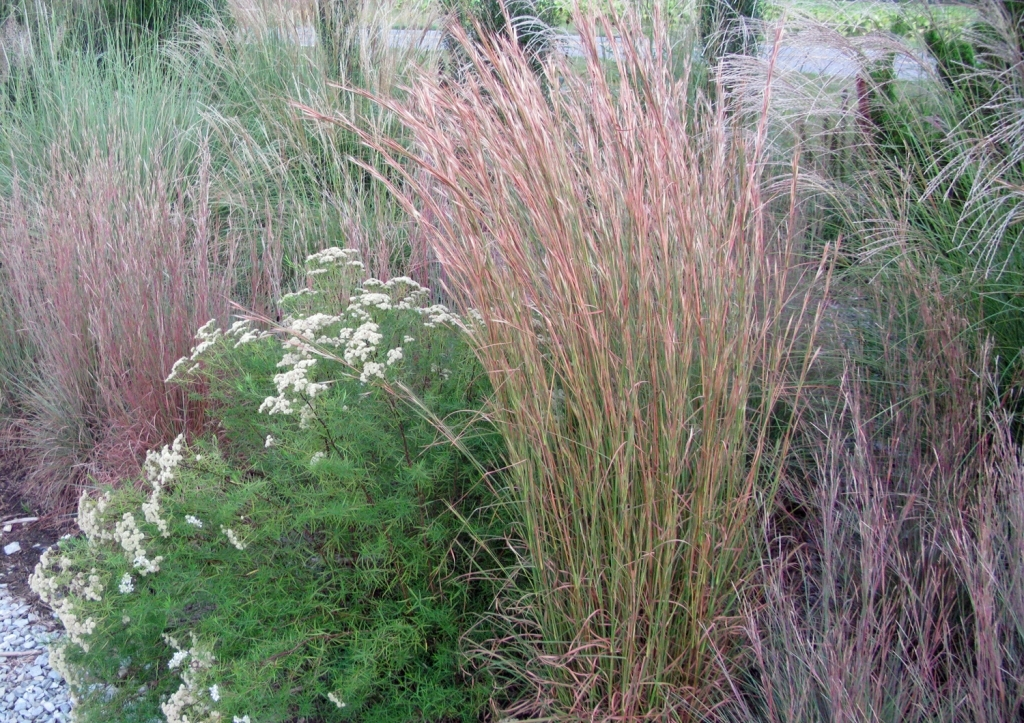 Ornamental grasses easy beautiful and invasive for Easy ornamental grasses