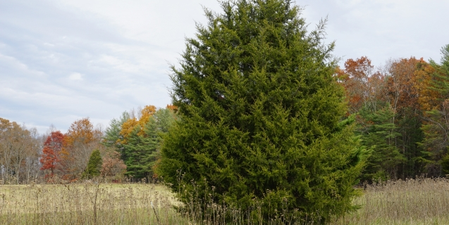 The pros and cons of eastern redcedar piedmont