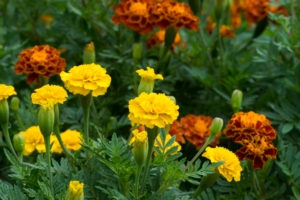 Magical Repelling Powers Of Marigolds Myth Or Fact Piedmont
