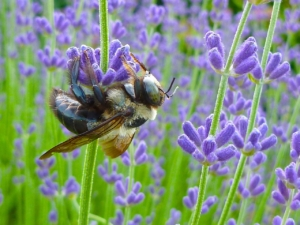 Growing Lavender in Central Virginia | Piedmont Master Gardeners